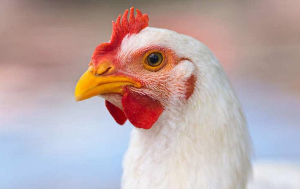 Grasso di pollo