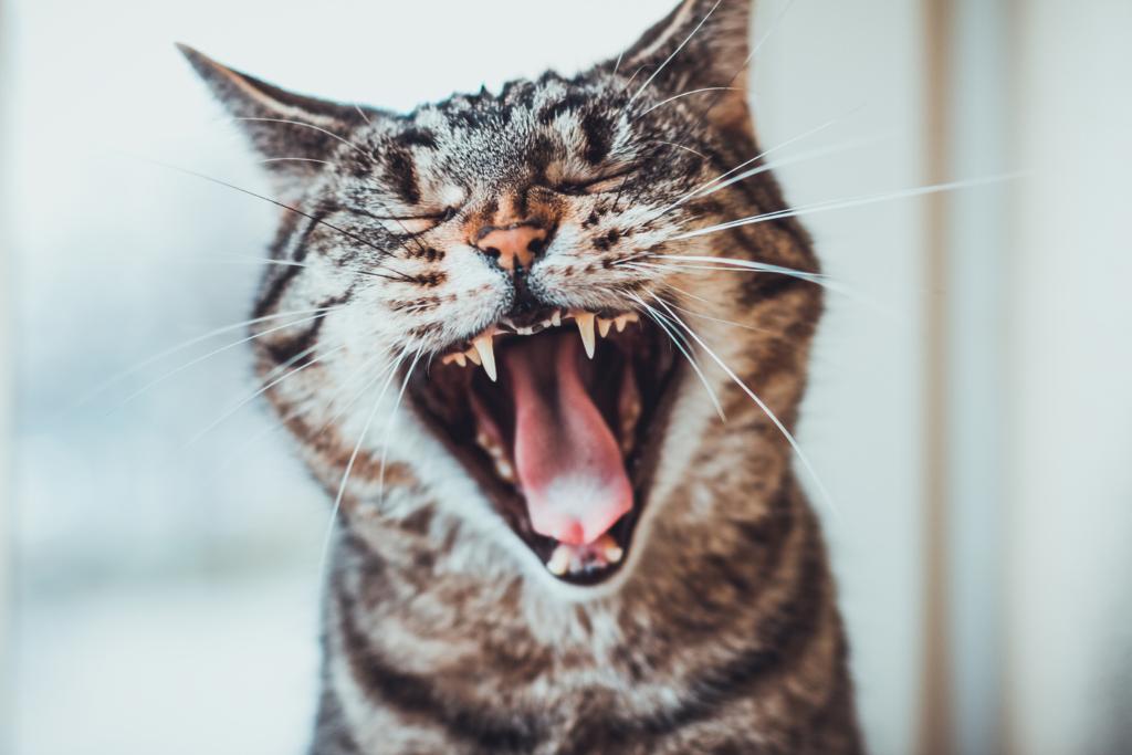 Il gatto, Felis silvestris catus