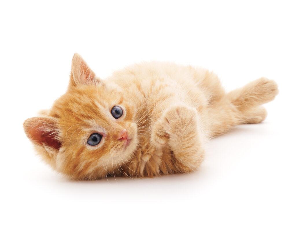 La socializzazione del gattino